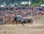 Buffalo fighting festival to be held in Hanoi - Vietnam visa for UK citizens