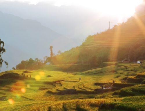 "Ravishing beauty of ""golden crop"" in Lao Cai"